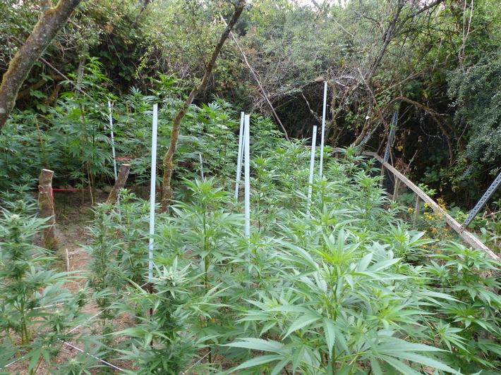 Saarland  POL-SL: Cannabisplantage auf Wiesengrundstück entdeckt 40-jähriger unter Tatverdacht